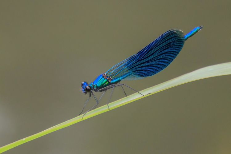 Close-up of damselfly on blue background