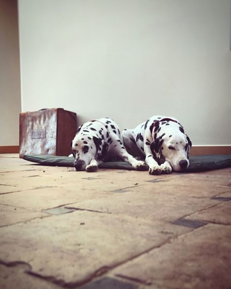 Dalmatian Dogs Resting At Home
