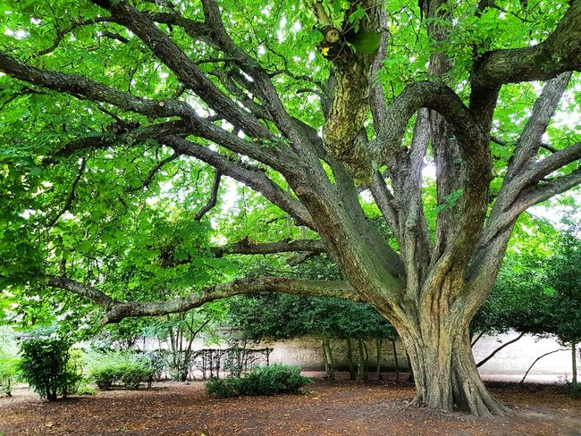 Tree Growth Nature Green Color Day Outdoors No People Beauty In Nature Tree Trunk Branch Scenics Chesnut Tree