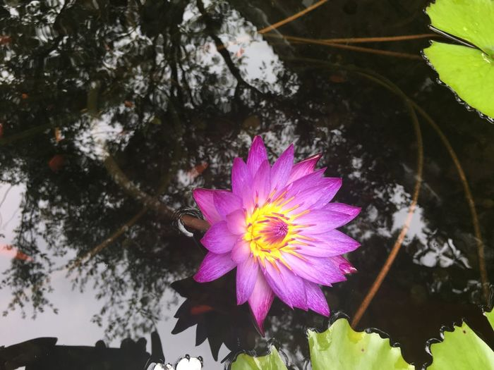 Flower Fragility Freshness Petal Flower Head Growth Close-up Beauty In Nature Purple Nature Water Springtime Water Lily Blossom Pink In Bloom Plant Single Flower Vibrant Color Focus On Foreground