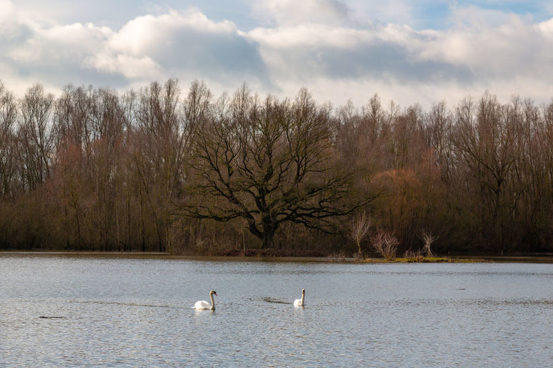 Animal Themes Animals In The Wild Water Bird Animal Wildlife Swan Nature Tree No People Water Bird Swimming Cloud - Sky Floating On Water Tree Trunk Winter Lake Two Animals