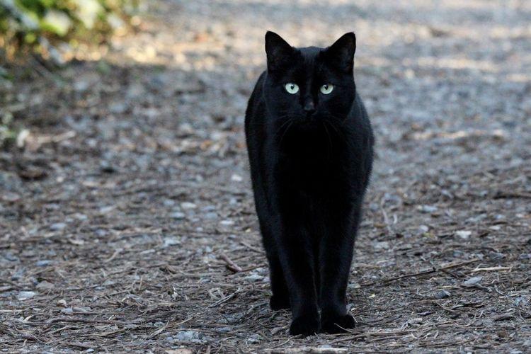 Portrait of black cat on field