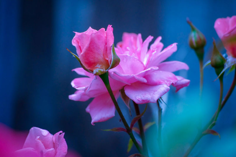 EyeEm Best Shots EyeEm Nature Lover EyeEmBestPics EyeEm Best Shots - Nature Beauty In Nature Pink Roses Flower Head Flower Water Pink Color Petal Springtime Close-up Plant Plant Life In Bloom Blooming