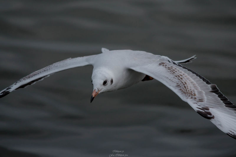 Animals In The Wild Animal Animal Wildlife Animal Themes Bird Vertebrate One Animal Spread Wings Flying No People Focus On Foreground Seagull Water Motion Nature Day Close-up Sea Mid-air Animal Wing