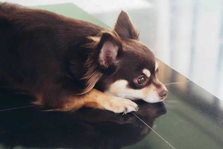 High Angle View Of Chihuahua Relaxing On Tiled Floor