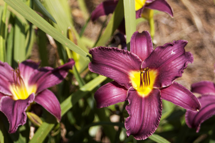 High angle view of purple lilies blooming in park