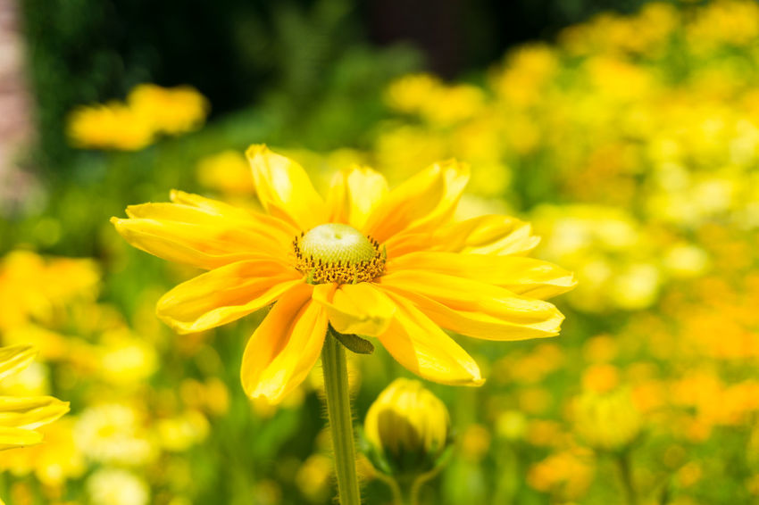 View on a beautiful yellow Flowers in Summer. Golden Daisy Bush Asteraceae Beauty Blooming Close-up Closeup Easy To Grow Euryops Chrysanthemoides Flower Head Flowering Flowers Freshness Garden Golden Daisy Bush Green Growing Growth Meadow Nature Plants Season  Summer Yellow