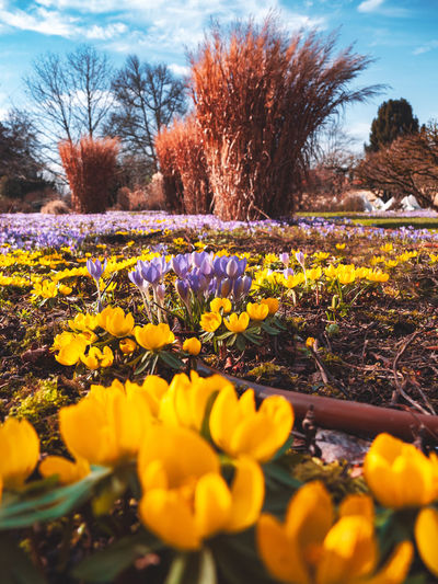 Plant Flower Flowering Plant Yellow Nature Tree Freshness Growth Beauty In Nature Land Field Selective Focus Day Sky Fragility No People Landscape Outdoors Vulnerability  Tranquility Flowerbed Springtime Flower Head Crocus