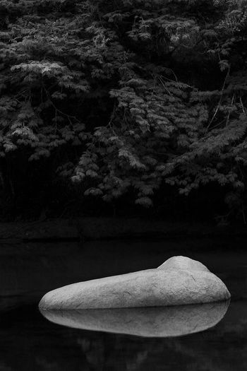 Rock Beauty In Nature Bnw Day Focus On Foreground Forest Growth Land Leaf Nature No People Outdoors Plant Plant Part River Rock Rock - Object Single Object Solid Stone Tranquility Tree Water