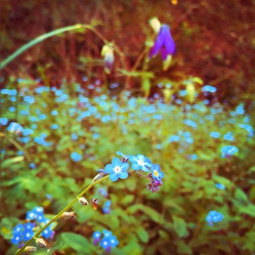 Flowers Blueflowers Nomeolvides Nature Beauty In Nature Freshness Spring