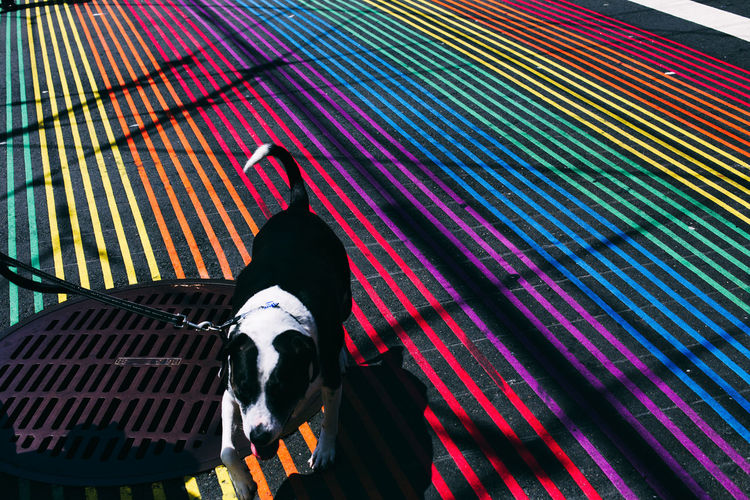High Angle View Of Dog Walking On Colorful Striped Street
