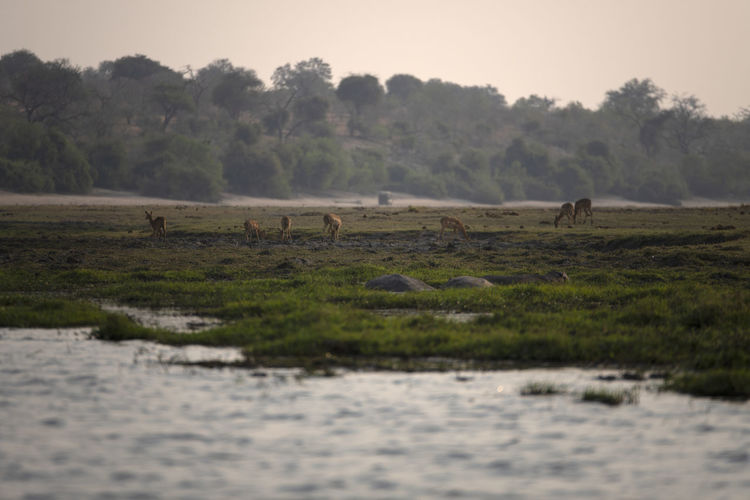 Impalas grazing in a forest