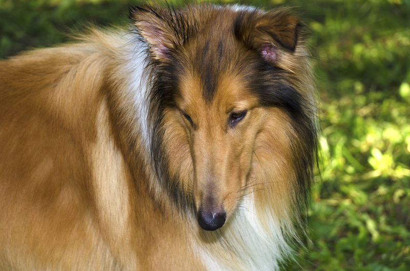 Close-Up Of A Collie Dog