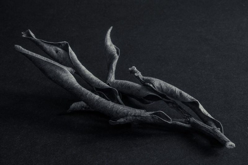 Black Black Background Blackandwhite Close-up Dark Dead Dry Leaves No People Studio Shot Twig