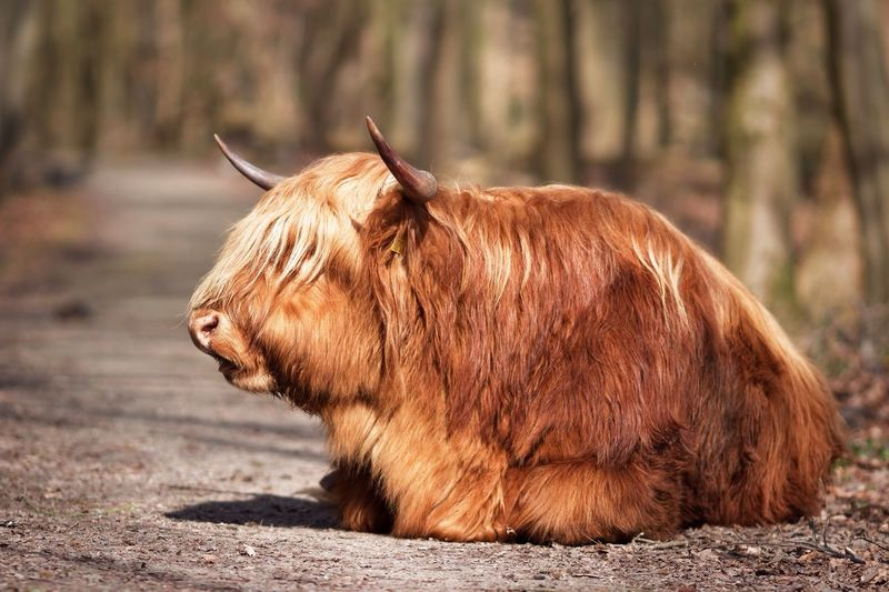 Blocking My Way Highland Cattle One Animal Animal Themes Brown Mammal No People Nature Outdoors Day Animals In The Wild Domestic Animals Highland Cattle Close-up