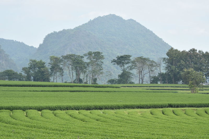 Agriculture Beauty Beauty In Nature Chaingrai Day Farm Field Growth Landscape Mountain Nature No People Outdoors Rural Scene Scenics Singhapark Sky Springtime Teafield Tree