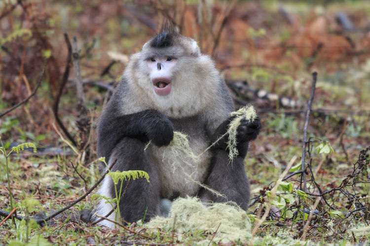 Yunnan Snub-Nosed Monkey Sitting On Field In Forest