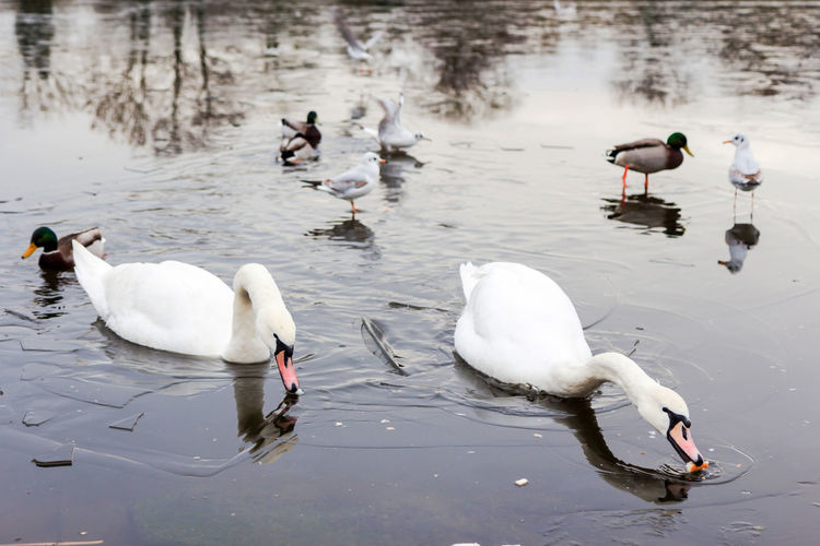 Birds feed in a lake in winter Animal Themes Animals In The Wild Bird Birds Bushes Cold Temperature Day Frozen Lake Lake Nature No People Outdoors Swans Swans Swiming Trees Water Wintertime ⛄