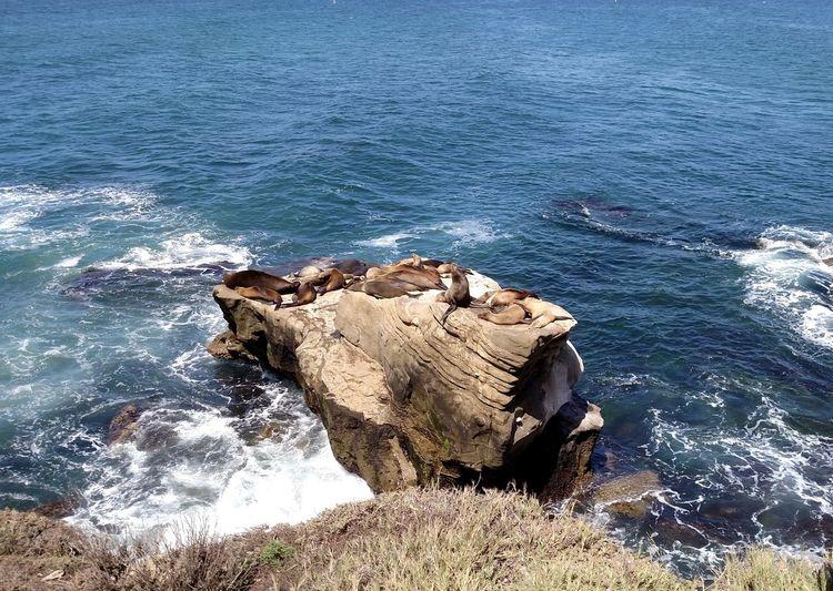 Beach Cali California La Jolla La Jolla Cove Relaxation Rock Sea Seals Water Wildlife