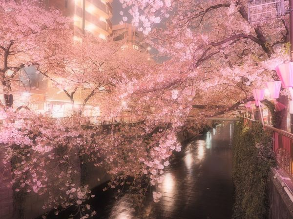 Yozakura Sakura Cherry Blossoms Nightphotography Flowers Snapshot Nature Taking Photos Nature_collection Night Lights