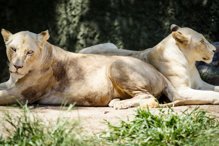 Lionesses On Sunny Day