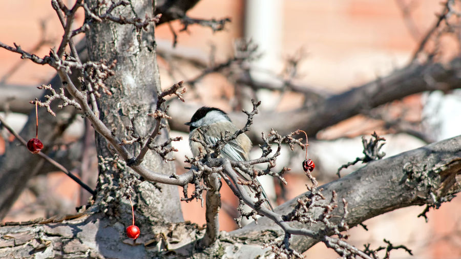 Black Capped Chickadee Perching in a Crab Apple Tree. 03 Animals In The Wild Crabapple Tree Animal Themes Beauty In Nature Bird Blurred Background Branch Chikadee Close-up Crabapple Day Daylight Nature No People One Animal Outdoors Perching Perching Bird Tree Twig Wildlife