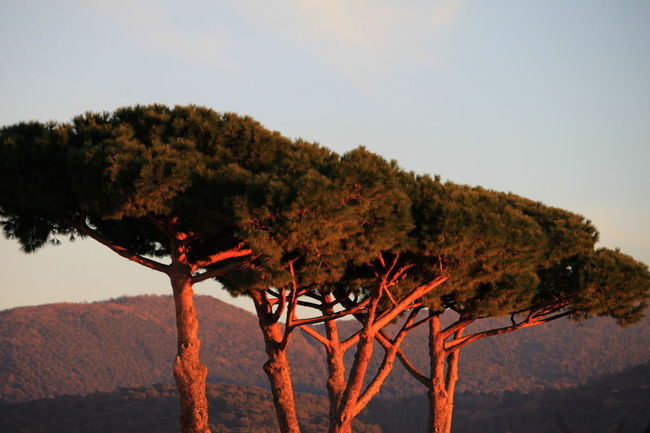 Hills Maritime Pines Trees Beauty In Nature Castagneto Carducci Clear Sky Day December 2016 Italy Landscape Nature No People Outdoors Scenics Sky Sunset