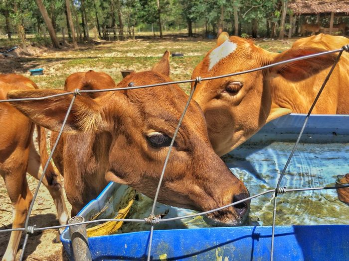 we want to drink water Cow Rice Field Agriculture Rural Green Color Freshness Yellow Sunny Season Beef Livestock Brown Cattle Native Asian Breed Aian Tropical Cows In A Field Animal Themes Domestic Animals Mammal Day Outdoors No People One Animal Animals In The Wild Nature Close-up