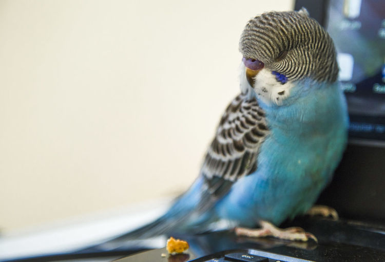 Budgerigar perching on table