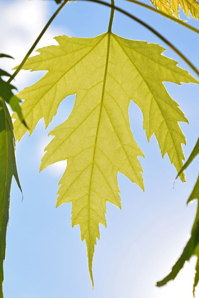 Translucent fresh spring green maple tree leaves over blue sky Beauty In Nature Branch Change Clear Sky Close-up Day Fresh Green Color Greenery Leaf Maple Maple Leaf Maple Tree Nature New Life Outdoors Season  Shiny Sky Spring Spring Leaves Springtime Sunlight Tree