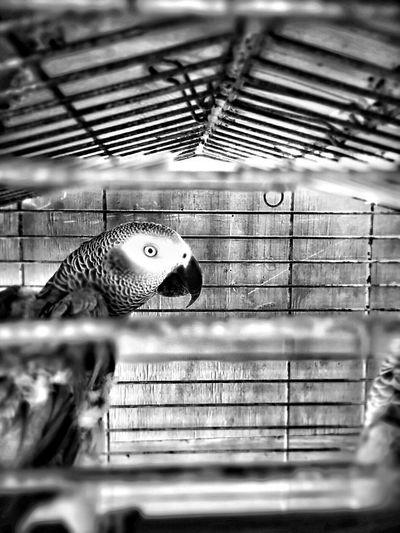 Parrot In Jail Sedness