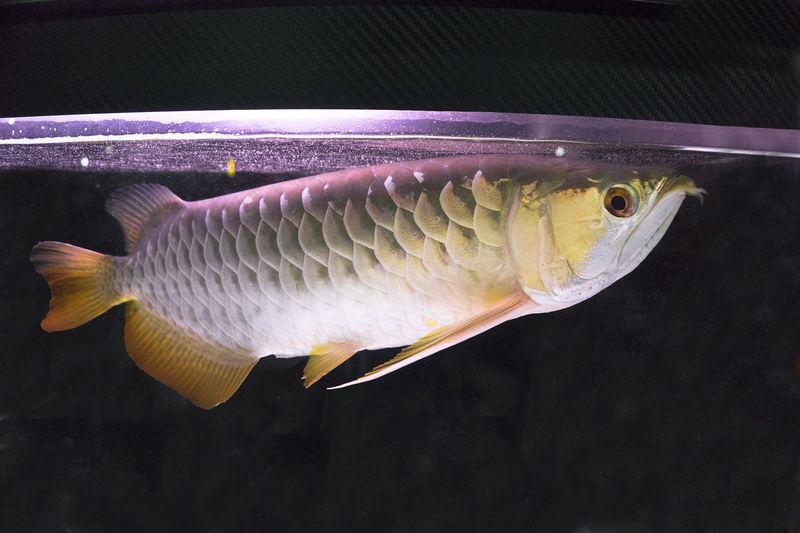 Gold Golden Red Animal Animal Themes Animal Wildlife Arowana Arowana Fish Arowanahobbyist Backgrounds Black Close-up Fish Marine Swimming Underwater Water