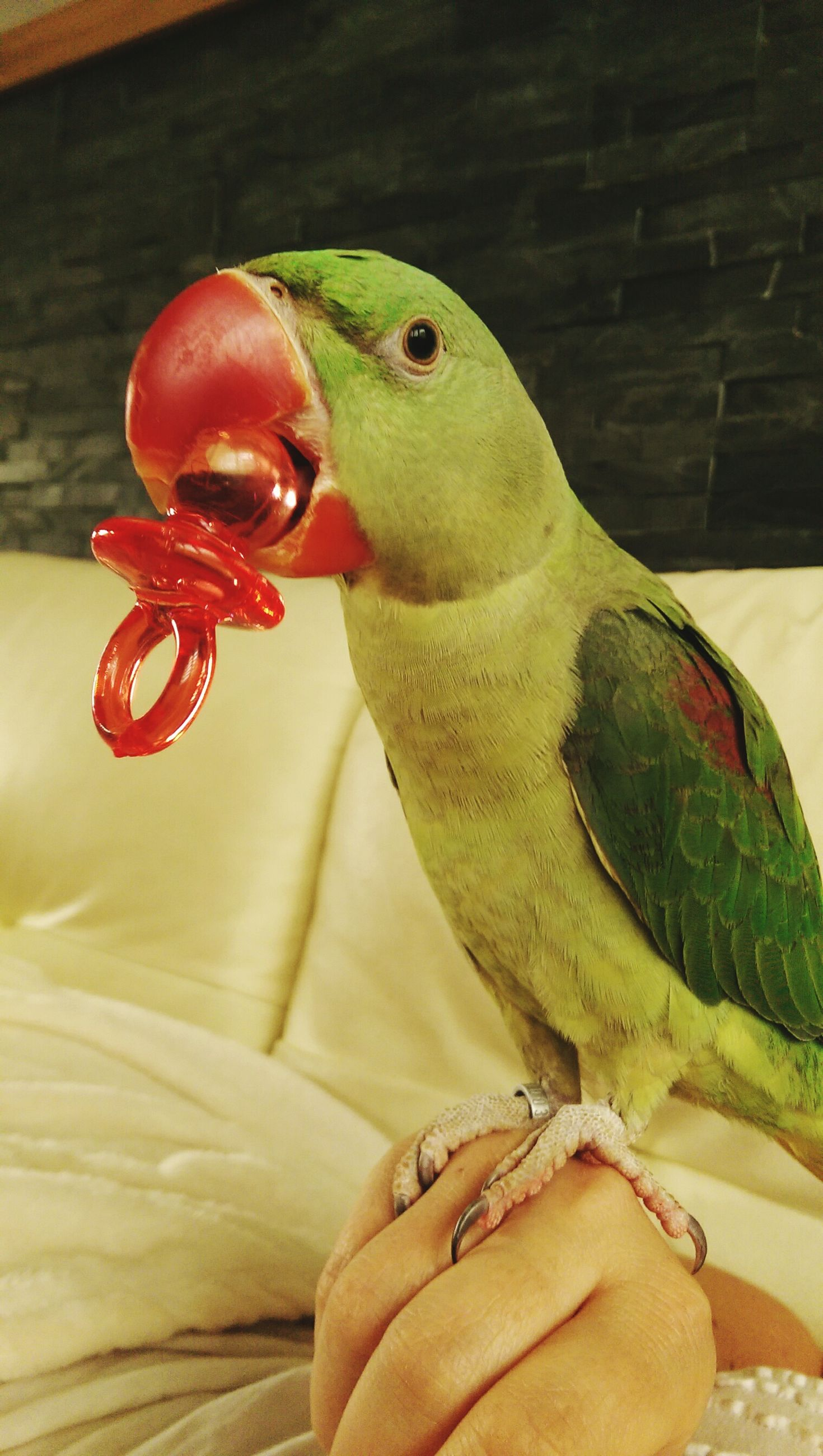 animal themes, one animal, indoors, animals in the wild, wildlife, person, close-up, holding, part of, animal representation, animal head, reptile, side view, focus on foreground, parrot, bird, lifestyles