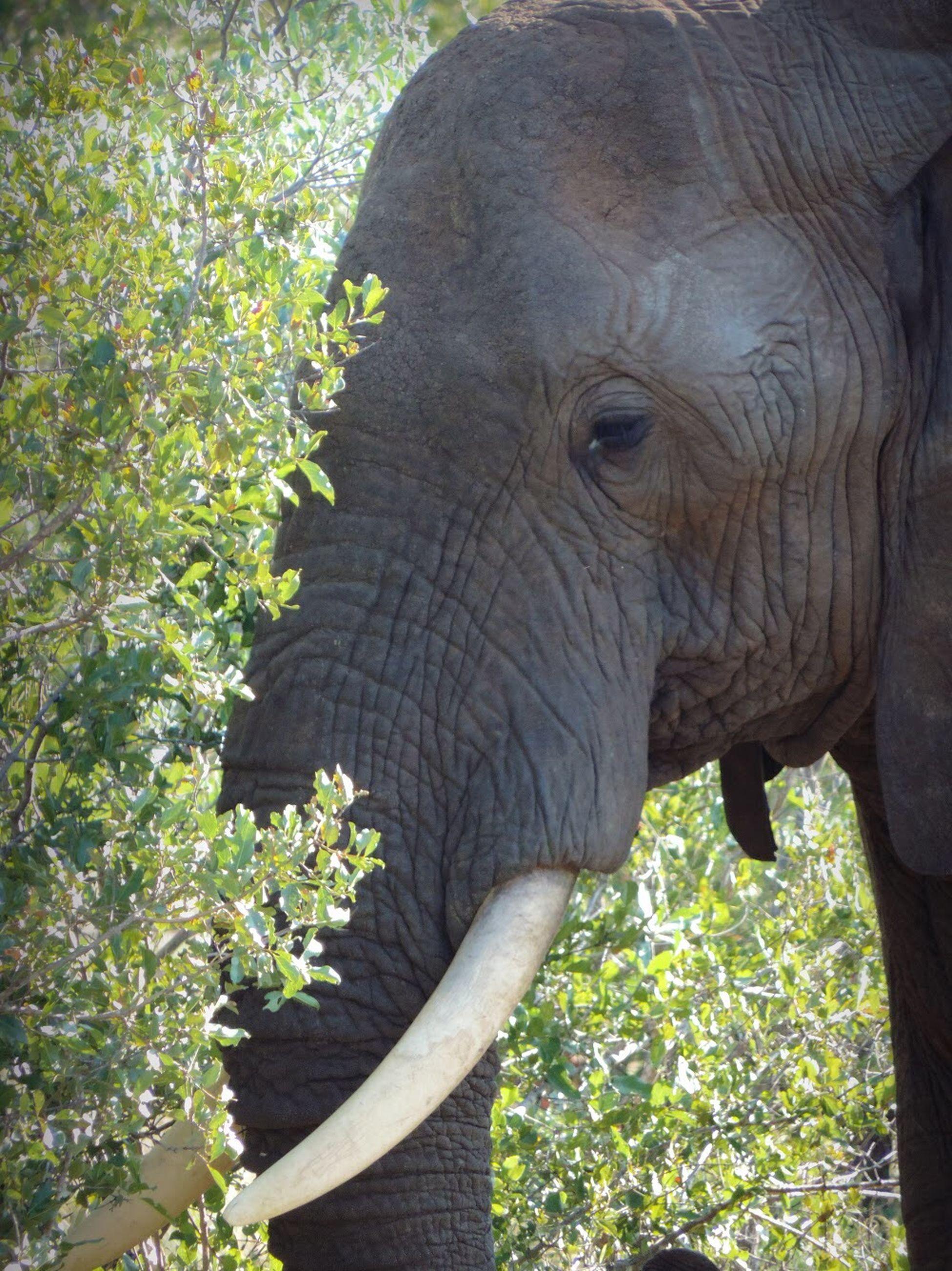 animal themes, one animal, animal, elephant, animals in the wild, animal wildlife, mammal, plant, day, vertebrate, animal body part, nature, tree, no people, land, sunlight, tusk, outdoors, forest, animal trunk, animal head, herbivorous, african elephant