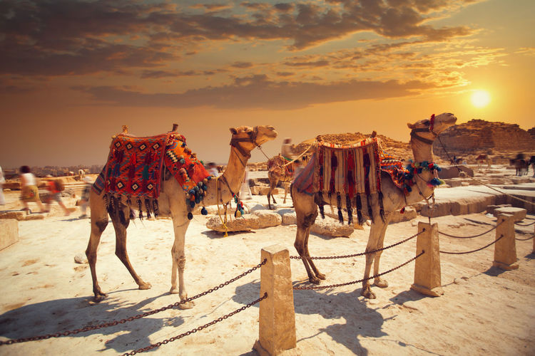 Camels standing at desert during sunset