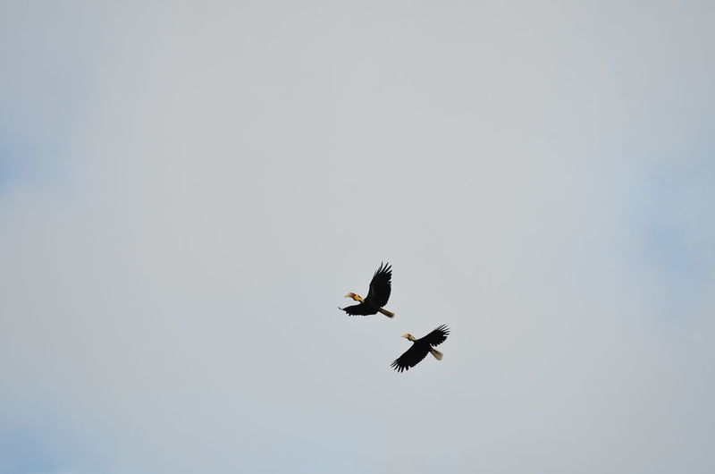 Animals In The Wild Animal Wildlife Bird Flying Animal Themes Animal Vertebrate Sky Low Angle View Spread Wings Clear Sky Mid-air One Animal No People Day Copy Space Motion Nature Bird Of Prey Eagle Outdoors Wreathed Hornbill