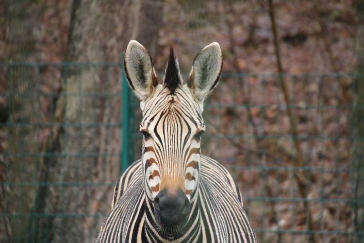 Winter 2018 Close-up Zebra Safari Animals Ear Animal Markings
