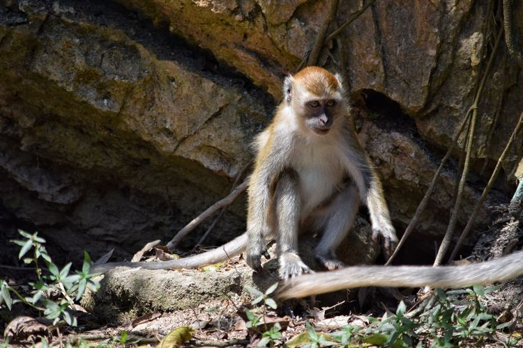 Baby Monkey Ipoh Malaysia Macaque Sitting Ape Mammal Monkey Primate Outdoors No People One Animal Cave Animal Themes Day Nature Young Full Length Animal Wildlife Visit Ipoh