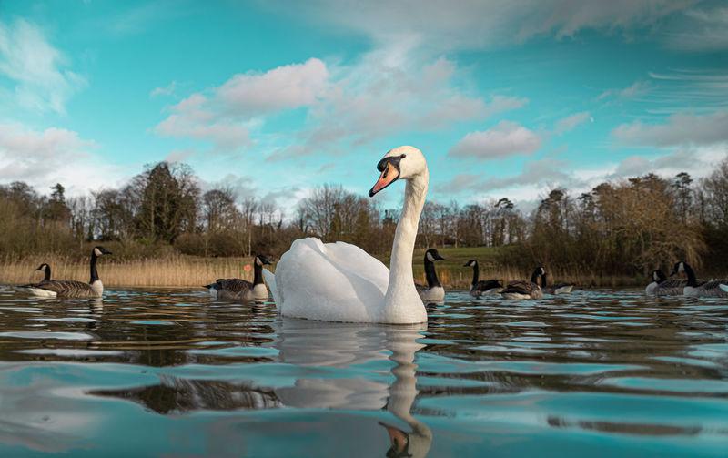 Mute swan swans pair low-level water side view macro animal background portrait