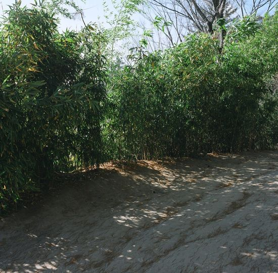 Bamboo Grass Beauty In Nature Day Gleen Nature No People Outdoors Plant Tree 해인사