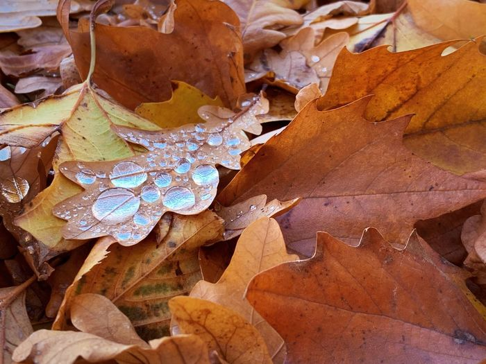 High angle view of dry maple leaves on land