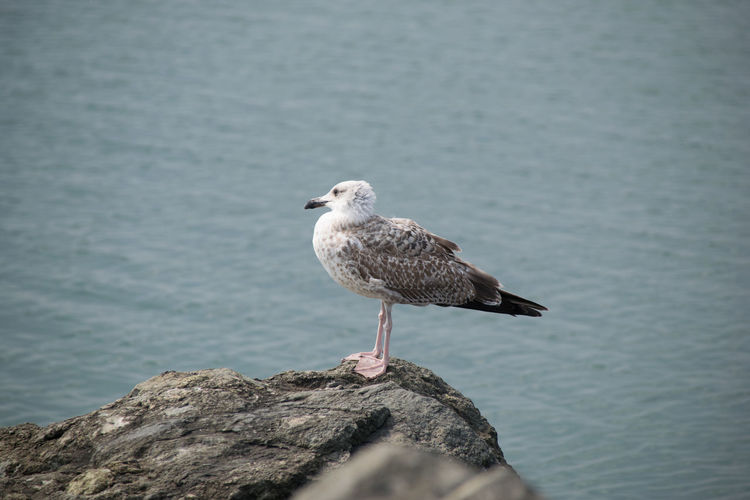 Animal Animal Themes Animal Wildlife Animals In The Wild Bird Day Nature No People One Animal Outdoors Perching Rock Rock - Object Sea Seagull Solid Water