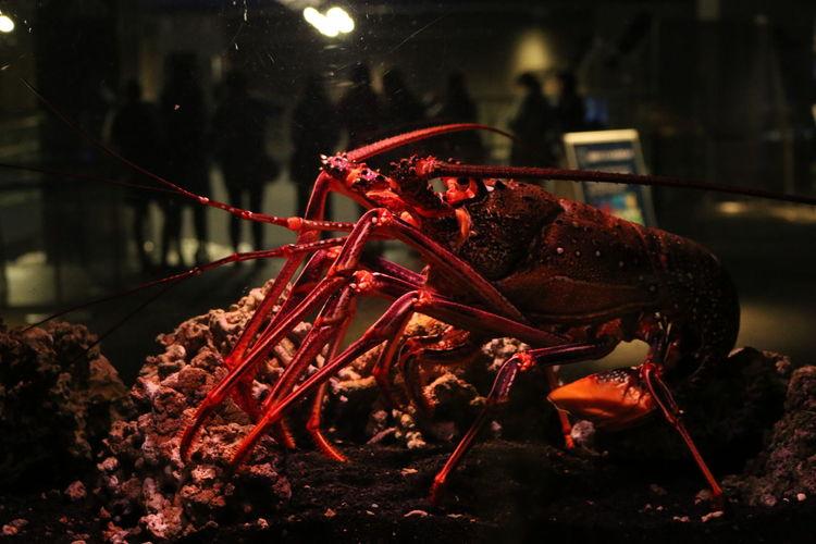 Close-up of lobster in aquarium