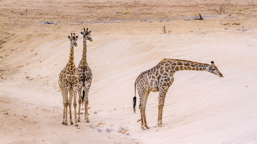 High angle view of giraffes walking on land