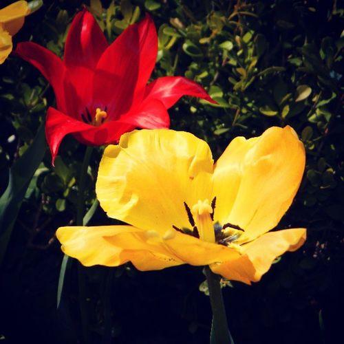 Tulip_gul Tulip_gul Tulip_sari Tulip_kirmizi tulip_red tulip_yellow flowerlove instagram nature_photo nature spring ilkbahar