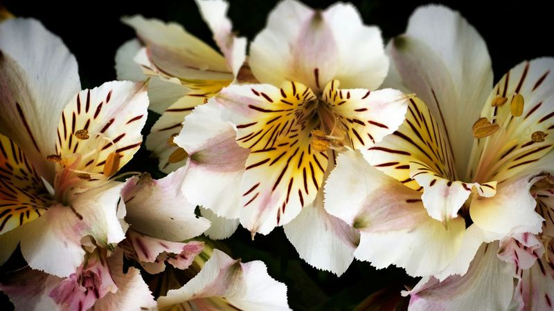 Nature Outdoors White Flowers And Buds Beauty In Nature Growth Freshness No People Close-up