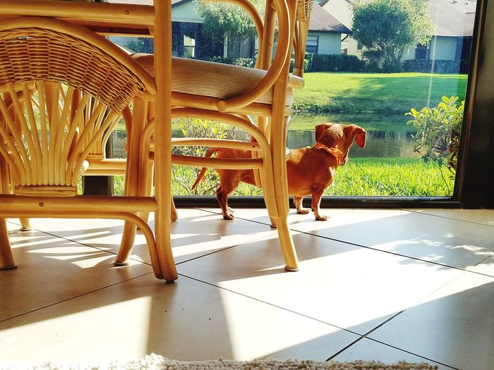 One Animal Day Animal Themes No People Domestic Animals Indoors  Doxies Dachshund Miniature Dachshund Lovers Dog Lover Dogs Pets Dog Dachshund Low Angle View Low Angle Shot The Week On EyeEm Pet Portraits Been There.
