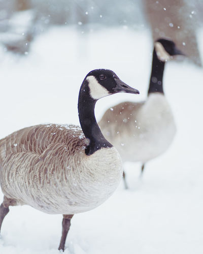Close-up of geese on snow covered ground