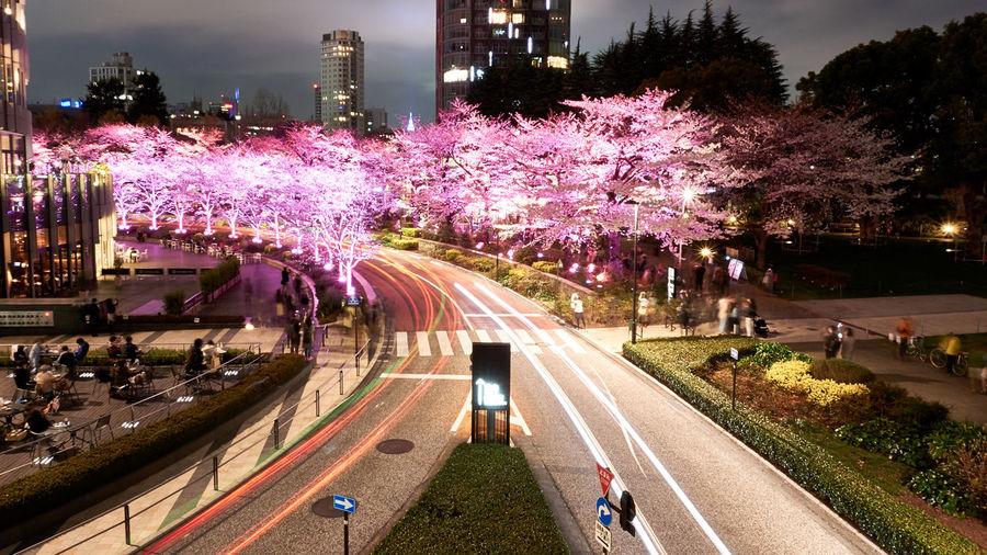Collaboration of illuminated cherry blossoms and car lights. Car Lights Cherry Blossoms Nightphotography Pink Razor Roppongi Sakura Tokyo Architecture Built Structure City City Life Midtown Night Outdoors Photo Plant Road Tree