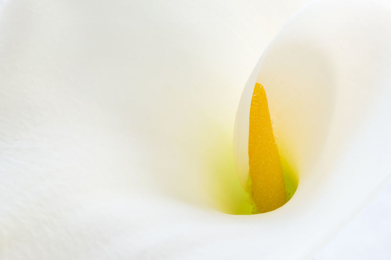 White lily soft center extreme close up